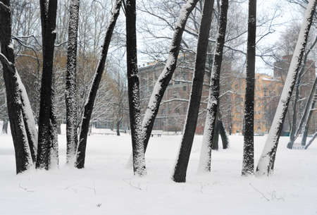 The beautiful dark trunks of trees which are stuck round by snow in the gardens against the residential quarter and the street in the winter.