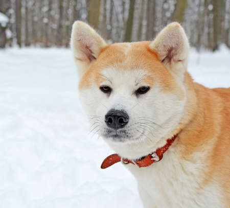 Head of a dog of breed Akita Inu in a red collar in a winter forest or park. Muzzle in the snow after playing in the snowdrift. Standard-Bild