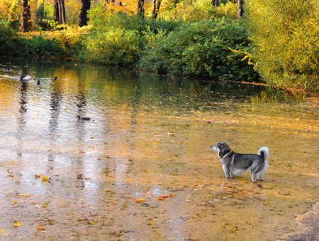 Lake in wood or park in Indian summer. Surface seems orange because of fallen-down needles of larch and bright beams of sun.Gray dog stands in water and looks at ducks. Landscape. Standard-Bild