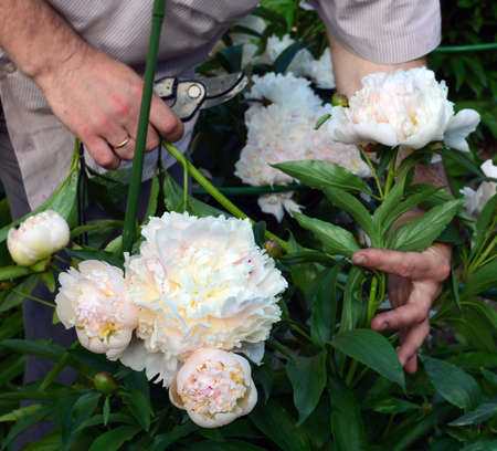Beautiful white peonies which are cut off by gardener for bouquet. Focus on flowers at left below. Standard-Bild