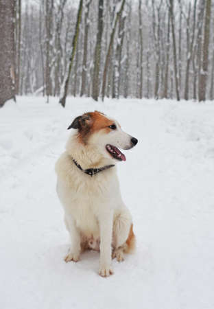 Nice happy puppy junior sits on path in forest or park in the winter during snowfall. Focus on head of dog.