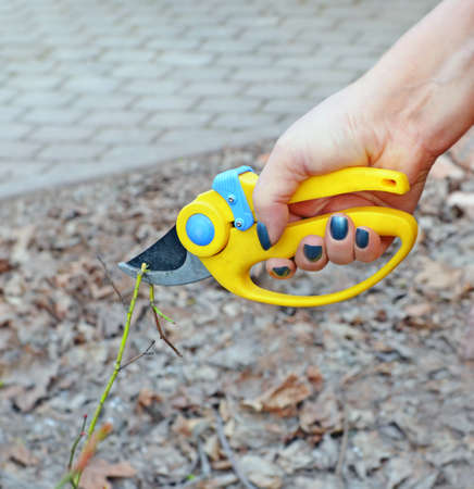 Woman's hand with secateurs. She cuts off weak branch in garden in early spring against of even naked lawn and path laid-out tile.