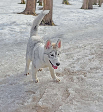 Little charming happy Siberian husky puppy of unusual beautiful color with wet paws in park in early spring. Dog is standing on track with melting snow and smiling