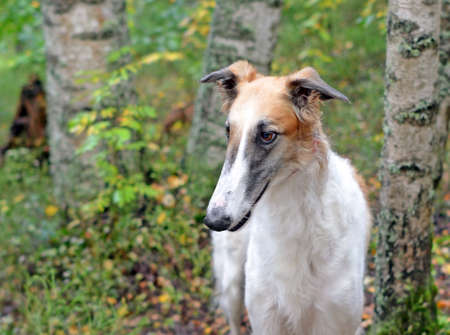 Head of dog breed borzoi or Russian wolfhound near birch trunks in autumn forest