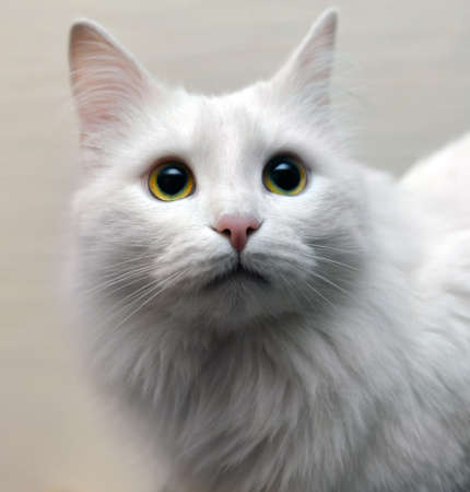 Emotional portrait of white fluffy cat looking up against beige background. Focus on eyes.