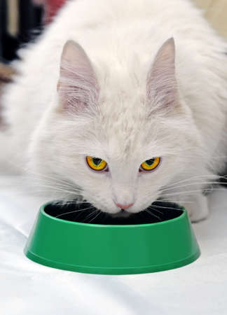 Large fluffy soft beautiful white cat ate or drank from a green bowl and looked up. Focus on eyes.