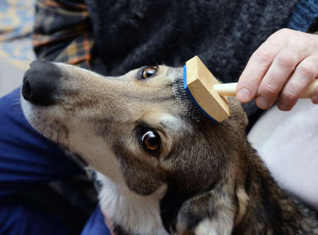 The hand of man who brushes his dog hair using slicker. Focus on tool and eyes of animal. Standard-Bild