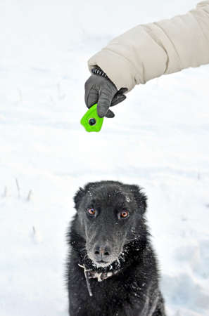Hand in glove with clicker over head of serious concentrated dog on training ground in winter. Focus on wrist with device and on animal nose Standard-Bild