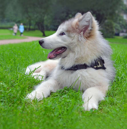 Little happy smiling puppy of breed Alaskan Malamute lies on grass in park