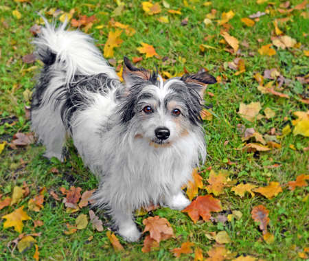 Small touching shaggy outbred dog with sad look on glade in autumn