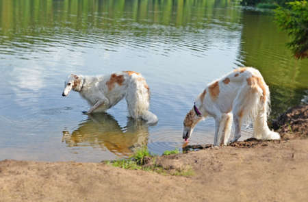 Two Russian borzoi dogs drink water from beautiful forest lake. Surface of pond reflects sky, trees and one of animals Standard-Bild