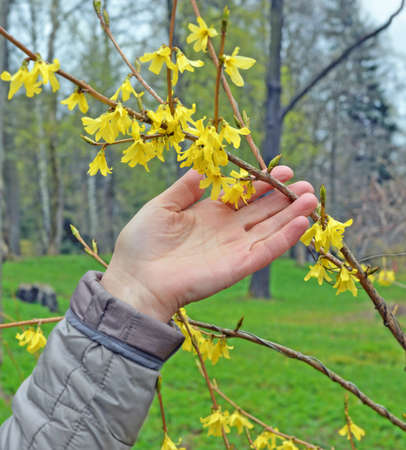 Hand of adult woman touching forsythia flowering branch in spring park. Metaphor for harmony between people and nature