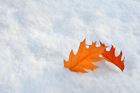 Autumn and winter meeting. Two fallen dry oak leaves lie on soft loose snow after first autumn snowfall. Absctact background.