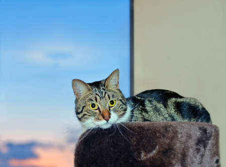 Cat with yellow eyes lies on top level cats condo near large window at sunset Standard-Bild
