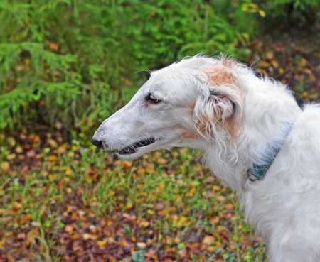 Head of white dog breed Russian wolfhound in profile against of blur autumn forest