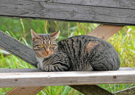 Portrait of cute tabby cat lying on bench of rough unpainted wooden boards in overgrown grass garden in summer