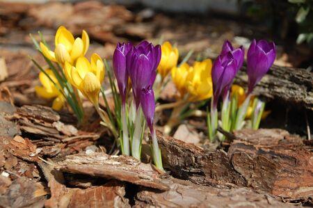 first spring flower - crocus photo