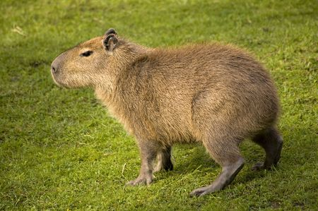 the largest: today the largest living rodent Stock Photo