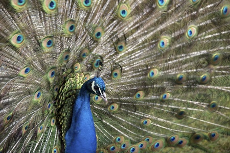 outspread: Close up of a peacock  Pavo cristatus  with his feathers outspread, Blackbrook zoo, England