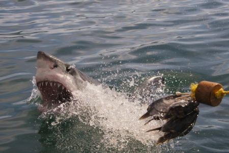 A great white shark goes for the bait and misses at a cage diving boat in South Africa Stock Photo