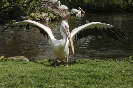 Flapping pelican photo