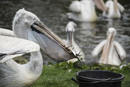 A hungry pelican steals food from a bucket, Black brook zoo, Staffordshire photo