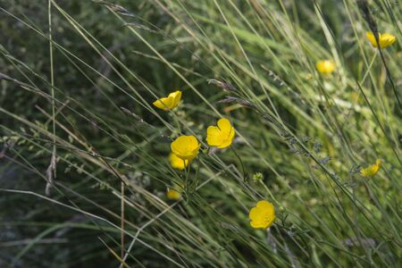 grasses: Closeup of buttercups and wild grasses