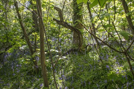 Patch of bluebells in an area of woodland, North Wales  photo