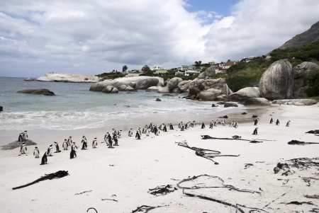 A colony of African penguins on Boulders Beach, South Africa photo