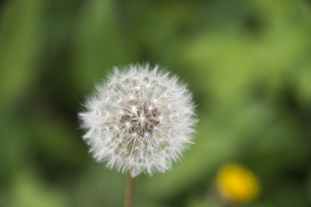 taraxacum: A common dandelion  Taraxacum officinale  with seeds missing