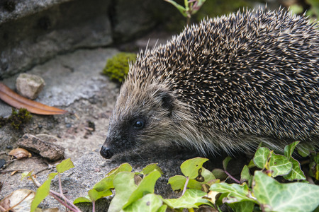hedgehog: A young hedgehog searching for food around a garden in England Stock Photo