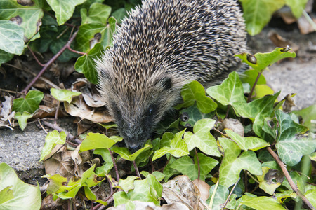 A young hedgehog searching for food around a garden in England photo
