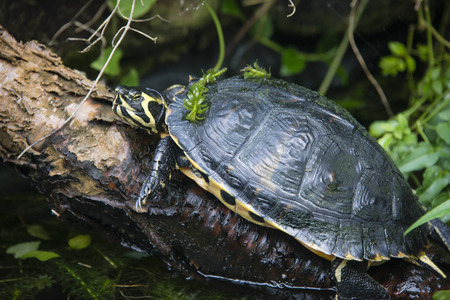 pili: A yellow bellied slider terrapin at Pili Palas, Anglesey, North Wales Stock Photo