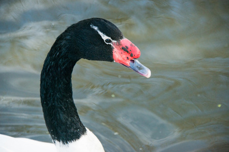 necked: A close up of a black necked swan cygnus melanocoryphus in a lake