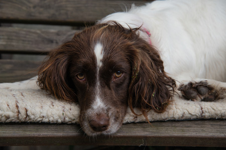 springer spaniel: A springer spaniel resting on a bench