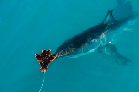 decoy: A great white shark approaches the decoy in Gansbaai, South Africa