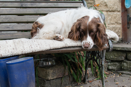 spaniel: A springer spaniel resting on a bench