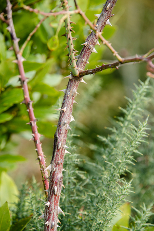 thorn tip: A thorny branch in a garden in the UK Stock Photo