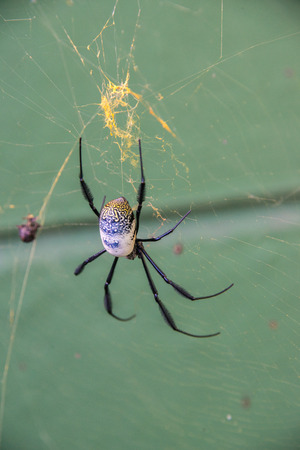 eight legs: A golden orb spider in its web Stock Photo