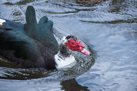 muscovy duck: A close up of a muscovy duck swimming