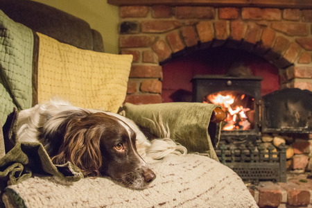 An English springer spaniel laying on a chair by a fire