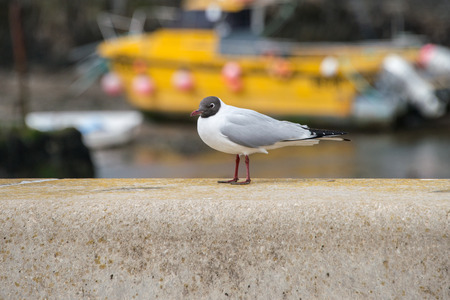 black headed: A black headed gull on a wall next to a beach on Anglesey, Wales
