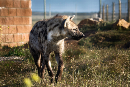 lycaon pictus: An African painted wild dog (Lycaon pictus) in a wildlife park in South Africa Stock Photo