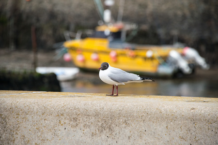 chroicocephalus: A black headed gull on a wall next to a beach on Anglesey, Wales