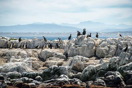 phalacrocoracidae: Cormorants, penguins and a gull on dyer island, gansbaai