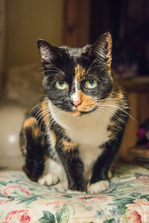 calico whiskers: A close up of a tortoiseshell cat sitting on a cushion