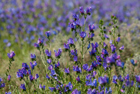 curse: The purple flowers of the plant Patersons Curse in a field in South Africa