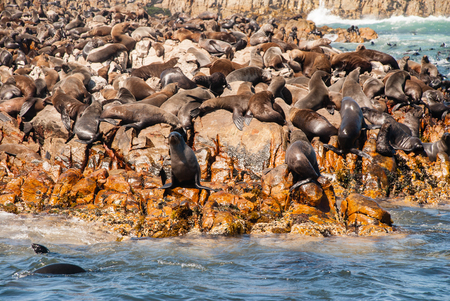 teaming: Cape fur seal colony in Mossel Bay south Africa