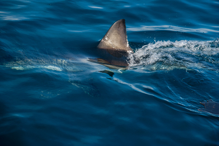 carnivorous fish: The fin of a great white shark cuts through the water, Gansbaai, South Africa