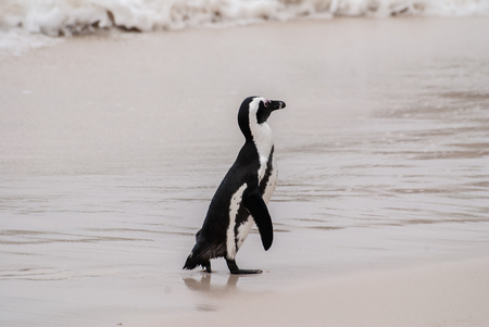 boulders: African Penguin on Boulders Beach, South Africa